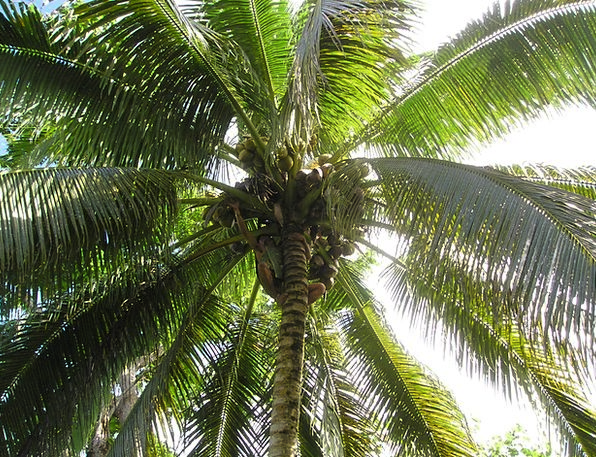 Palm Tribute Harvest Crop Coconut Samoa Exotic Sou