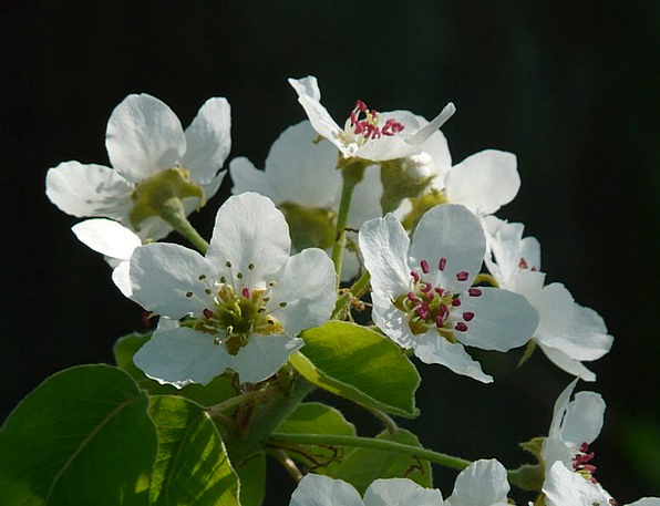 Pear Blossom Flower Floret Pear Bloom White Snowy