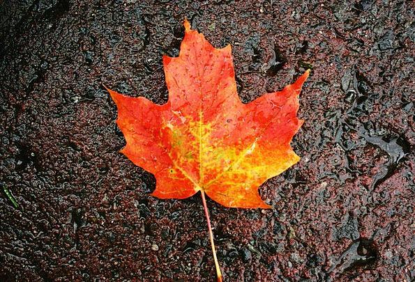 Maple Foliage Colorful Interesting Leaf Autumn Fal