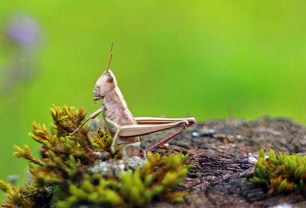 Field Grasshopper Grasshopper Chorthippus Parallel