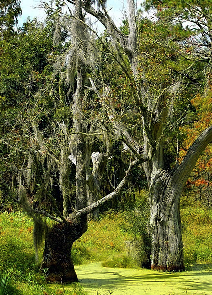 Swamp Swampland Spanish Moss Marsh Bog Subtropical