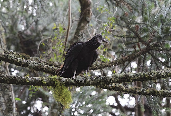 Vulture Predator Fowl Trunk Stem Bird On Top Ahead