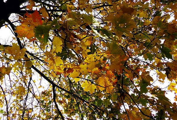 Maple Leaves Autumn Fall Maple Leaves Greeneries C