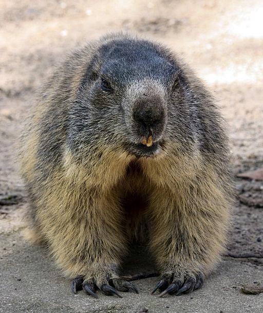 Marmot Physical Alpine Mountainous Animal Rodent F