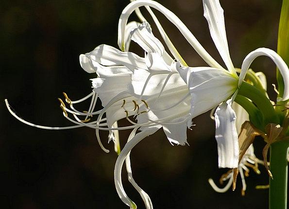 Lily Floret White Snowy Flower Stamens Garden Plot
