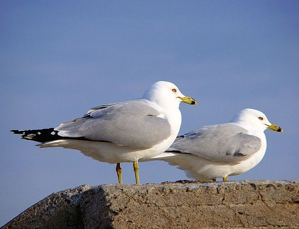 Seagull Bird Fowl Gull Fauna Shore Bird Wall Coupl