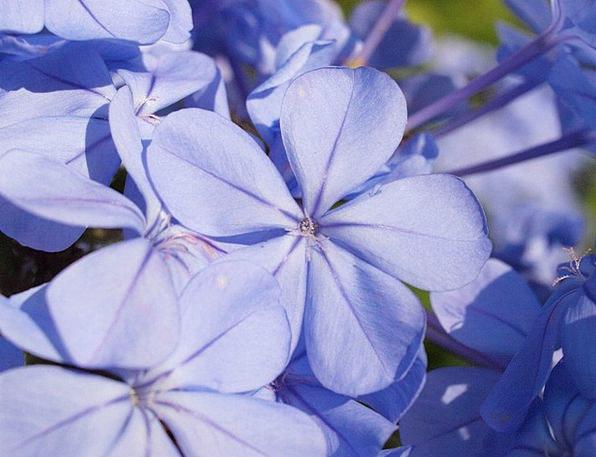 Auriculata Floret Blue Azure Flower Plumbago Garde