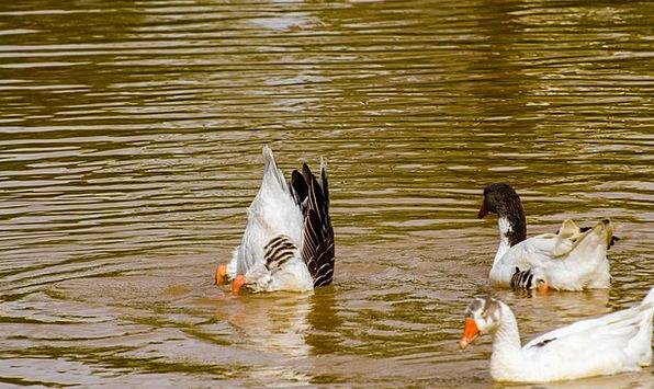 Duck Stoop Fowl Water Aquatic Bird