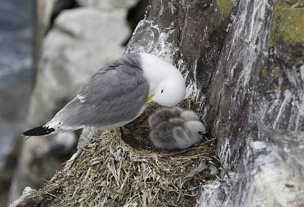 Seagull, Bird, Fowl, Gull, Animal, Physical, Uk, Nest