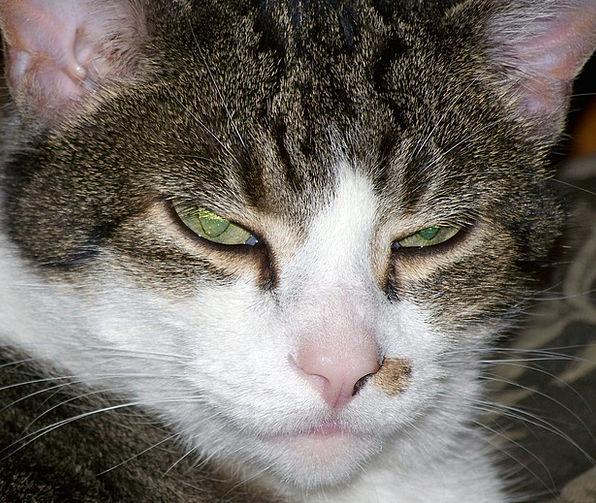 Cat Catlike Kitty Fund Feline Angry Cat Sleepy Cat