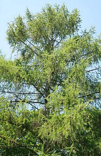 European Larch Sapling Conifer Tree Aesthetic Arti
