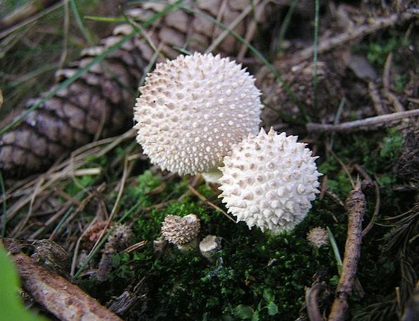 Mushrooms Burgeons Landscapes Nature Lycoperdon Um