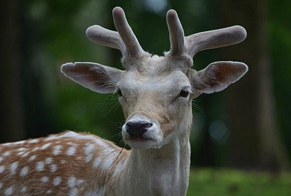 Fallow Deer Roe Deer