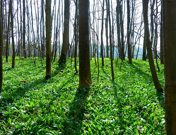 Bear'S Garlic Landscapes Woodland Nature Plant Veg
