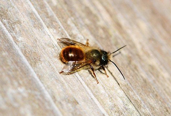 Red Mason Bee Bee Osmia Rufa Solitary Lonely Close