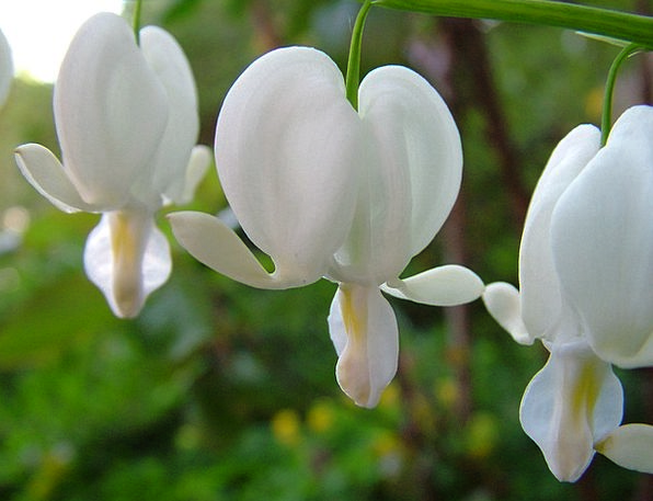 Watery Heart Snowy Lamprocapnos Spectabilis White