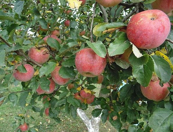 Apples Drink Fall Food Fruit Ovary Autumn Healthy