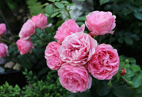 Roses Designs Landscapes Plot Nature Flower Floret
