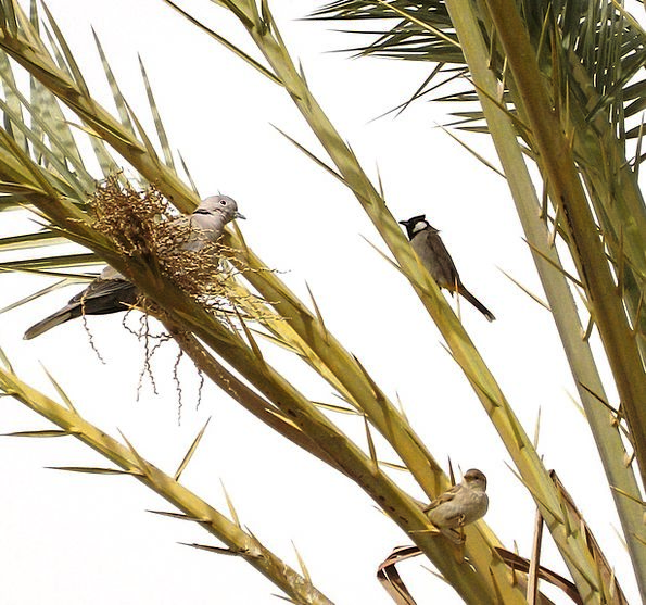 Tree Sapling Branch Division Date Palm Birds Natur