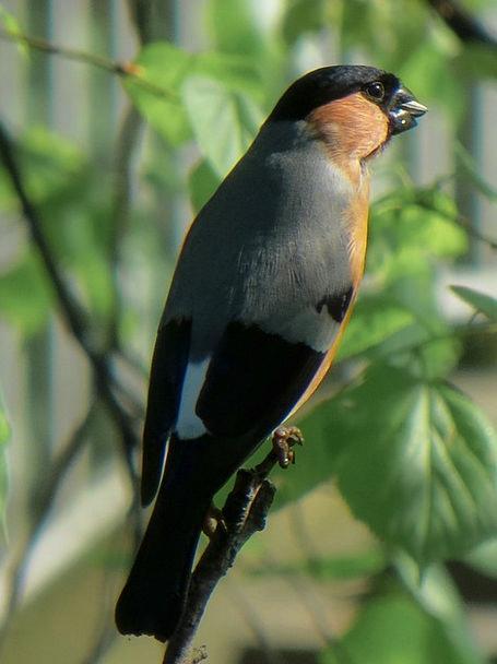 Bullfinch Fowl Animal Physical Bird