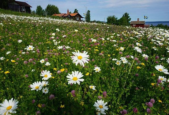 Daisy Landscapes Nature Tällberg Flower Bed The Va