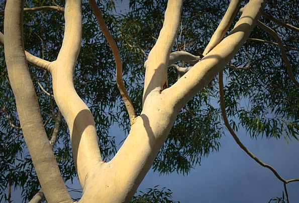 Eucalyptus Landscapes Sapling Nature Branches Twig