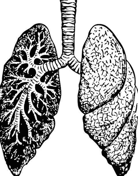 lungs  structure  diagram  drawing  organ  chest  human  humanoid  care  medicine  biology