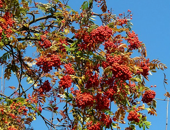 Mountain Ash Residue Rowan Ash Healing Effects Sor