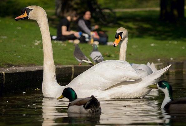 Swans Wanders Fowl Cygnus Bird Outdoor Fly Hover W