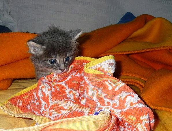 Kitten Creature Mammal