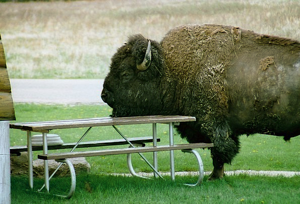 Bison Picnic Eat al fresco Severe Head