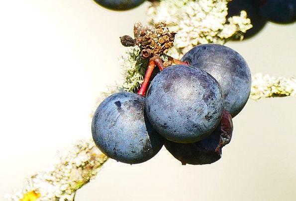 Schlehe Drink Food Prunus Spinosa Blackthorn Berry