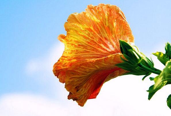 Hibiscus Landscapes Nature Flower Floret Sky Bloom
