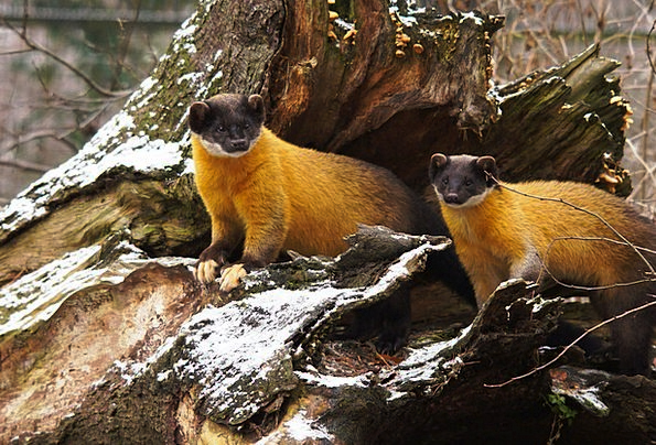 Yellow Throated Marten Landscapes Nature Predators
