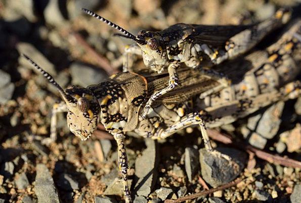 Locust Hopper Grasshopper Bug Germ Jump Mating Hur