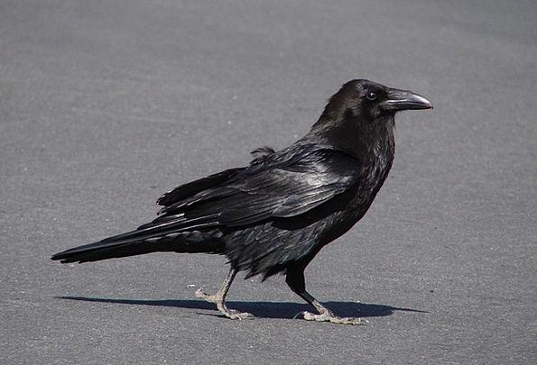 Raven Scoff Caw Bird Fowl Crow Fly Hover Creepy Di