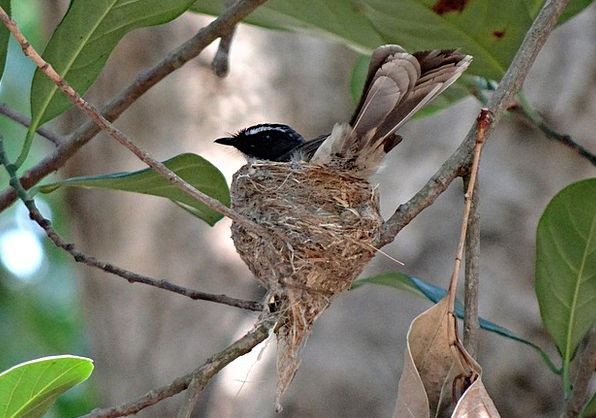 White-Throated Fantail Flycatcher Shell Incubating