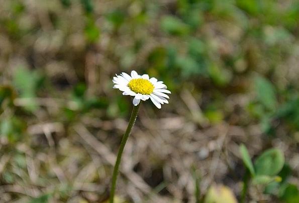 Daisy Landscapes Floret Nature Grass Flower Plants
