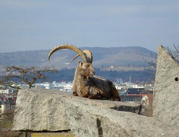 Bock Animal Physical Capricorn Panorama View