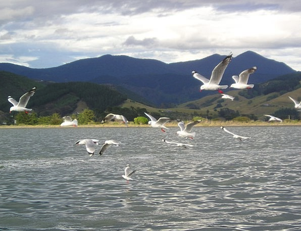 New Zealand Fly Hover Gulls Flutter Bet Flock Of B