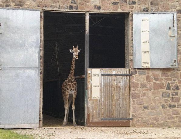 Baby Giraffe Zoo Menagerie Giraffe Nature Animal P