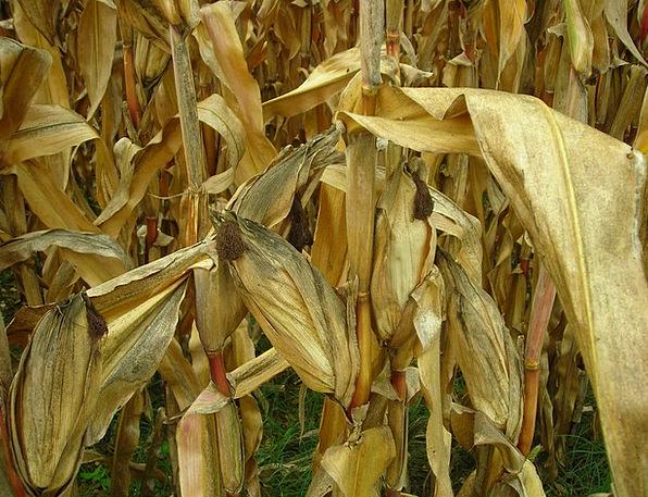 Corn Goo Greeneries Field Arena Leaves Corn Field