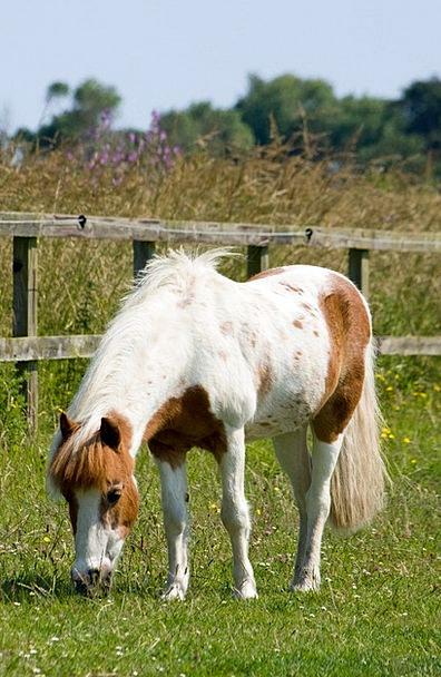 Horse Mount Shetland Pony Pony Image Brown Chocola