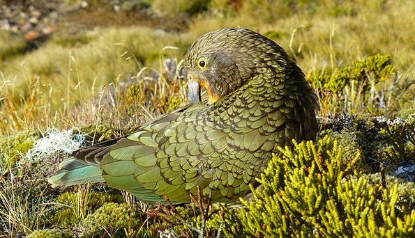 Kea Imitator New Zealand Parrot Bird Fowl Nature G