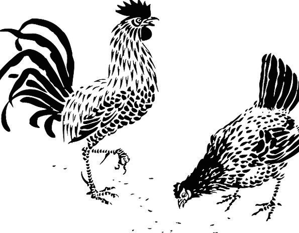Rooster Fowl Farming Undeveloped Hen Bird Poultry