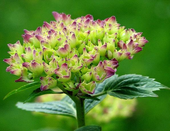 Hydrangea Landscapes Nature Grow Produce Bloom Atm