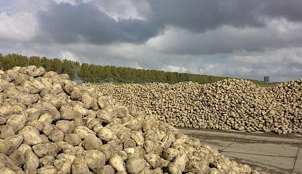 Sugar Beet Landscapes Harvest Nature Polder Yield