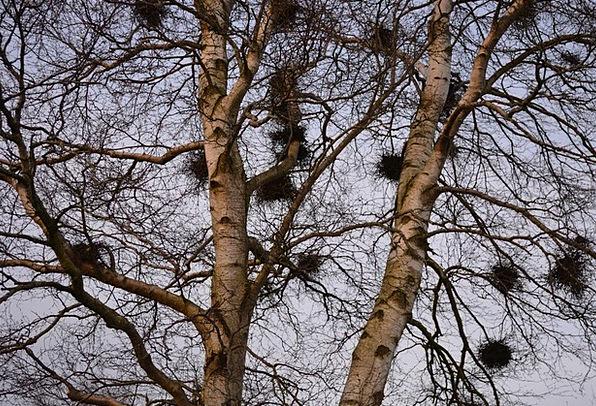 Nests Shells Sapling Birch Cane Tree Bird Nests