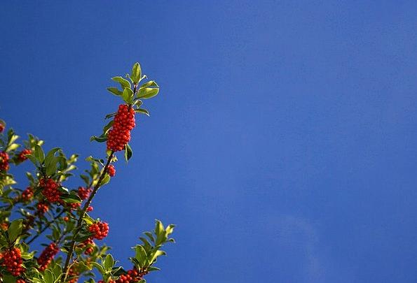 Holly Blue Azure Christmas Sky Red Fresh Bush Bloo