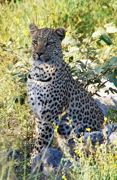 Leopard Be seated Animal Physical Sit Africa Namib